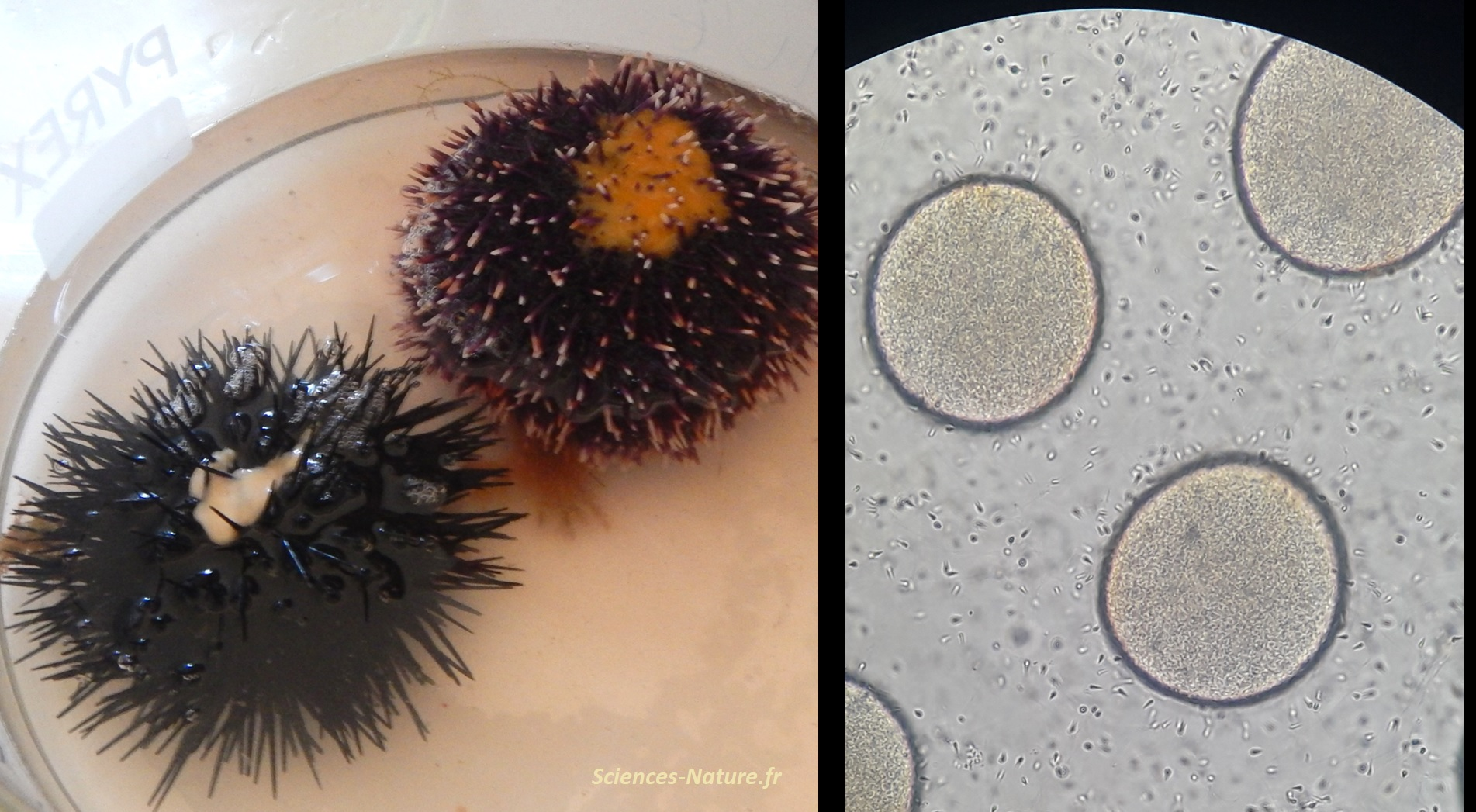 Sciences et Nature - reproduction chez l'oursin - observation de la ...