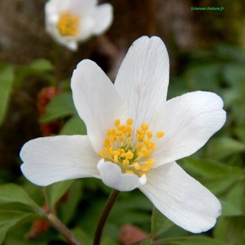 1-anemone sous bois