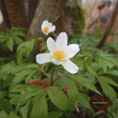 3-anemone-sous-bois-2